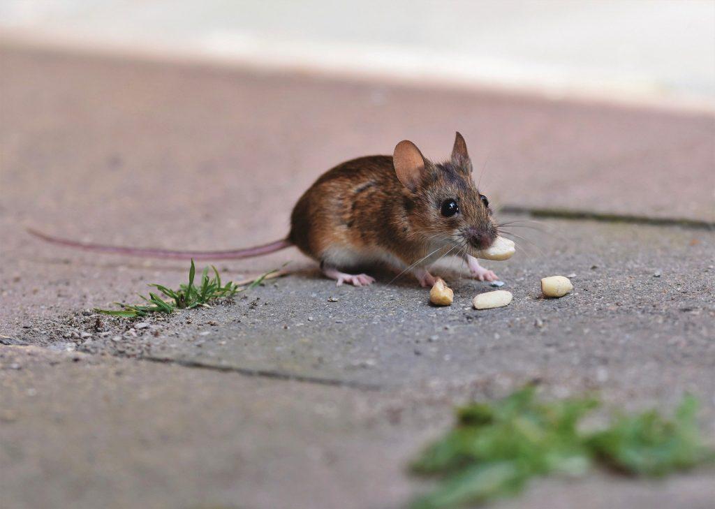 Rjava miš na ulici je arašide.